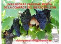 Uva mencía, doña blanca y palomino de la comarca del bierzo